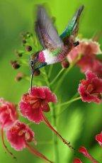 Hummingbird (haiga)